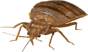 Bed-Bug-Front-View-775x449