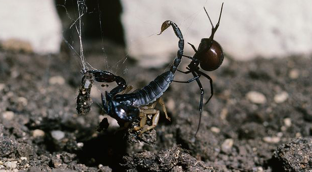 Black-widow-spider-capturing-a-scorpion